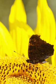 Germany, Bavaria, Peacock butterfly (Inachis io) on sunflower (Helianthus annuus), close-up - FOF01989