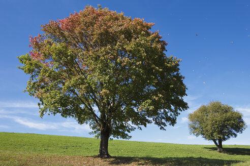 Germany, Bavaria, Maple trees in field - FOF02024