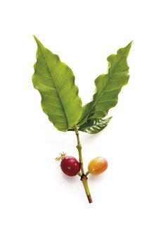 Coffee plant (coffea arabica) with ripe and unripe berries, elevated view - 12016CS-U
