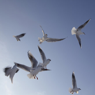 Germany, Hamburg, Seagulls in flight, low angle view - TLF00404