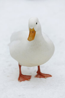 Germany, Hamburg, White duck in snow - TLF00401