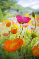 Germany, Iceland poppy (Papaver nudicaule), close-up - SMF00514