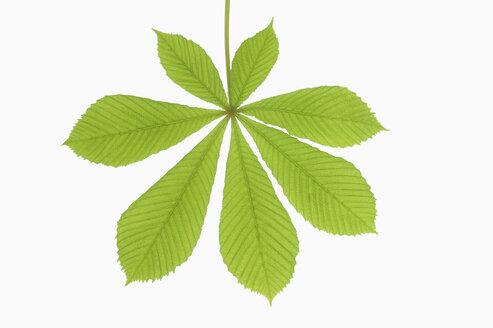 Horse Chestnut leaf (Aesculus hippocastanum), close-up - RUEF00319