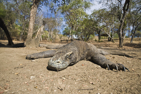 Komodo dragon in forest, close-up - GNF01180