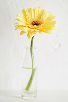 Gerbera in bottle, close up - COF00127