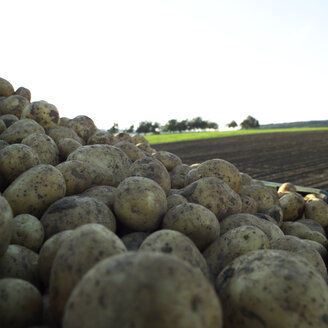 Germany, Hessen, Close up of raw potatoes in field - AKF00159