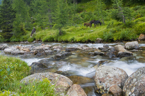 Italy, South Tyrol, Ultental, Creek flowing horse grazing  in trees - SMF00605