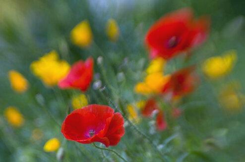 Germany, Bodensee, View of poppy flower field - SMF00575