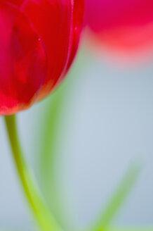 Close up of tulip flower - SMF00557