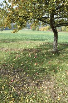 Germany, Nennslingen, Apple tree with apple fallen on ground - SRSF00101
