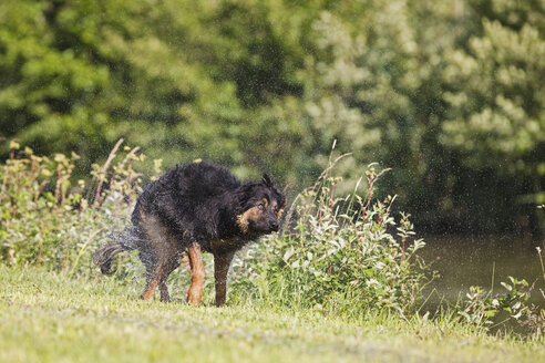 Germany, Bavaria, Hovawart mix dog standing on grass and shaking body - FOF02087
