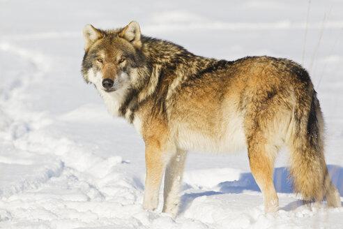 Bavaria, European wolf standing in snow - FOF02072