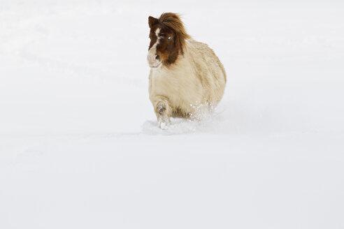 Bavaria, Shetland pony walking in snow - FOF02069