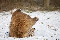 Bavaria, European brown bear in snow - FOF02048