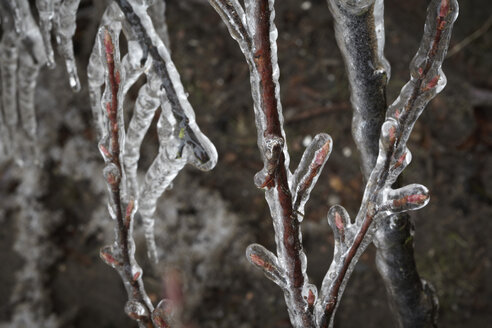Germany, Hamburg, Branches covered with ice, close up - TLF00418
