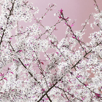 Germany, Hannover, Close-up of apple blossoms - TL00453