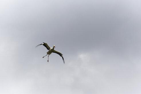 Germany, Hamburg, Stork flying in the sky - TLF00467