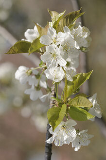 Germany, Bavaria, Close up of cherry blossom - CRF01886