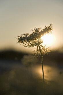 Germany, elder flower in back light - LFF000225