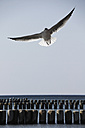 Germany, View of seagull flying over baltic sea - TLF000502