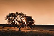 Africa, Botswana, Mabuasehube, View of Acacia tree at sunset - FOF002133
