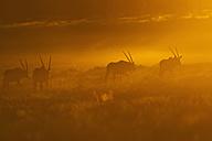 Africa, Botswana, Mabuasehube, Group of gemsbuck in kgalagadi transfrontier park at sunset - FOF002156