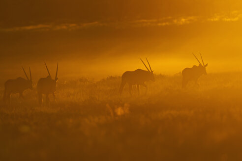 Africa, Botswana, Mabuasehube, Group of gemsbuck in kgalagadi transfrontier park at sunset - FOF002156