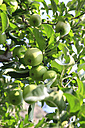 Italy, south Tyrol, Vinschgau, Low angle view of green apple tree - KSWF000571