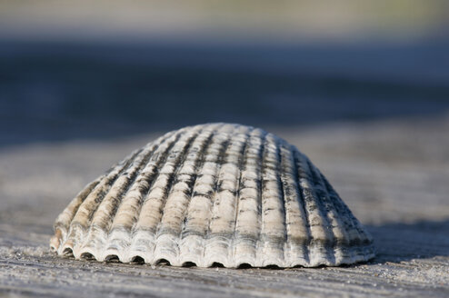 Germany, Northsea, Amrum, Close up of mussel detail on wood bench - AWDF000593