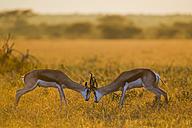 Africa, Botswana, Springbok fighting in central kalahari game reserve - FOF002167