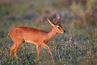 Africa, Botswana, Steenbok in central kalahari game reserve - FOF002174