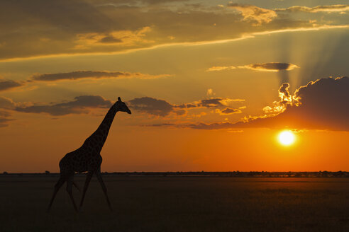 Africa, Botswana, Giraffe in central kalahari game reserve at sunset - FOF002183