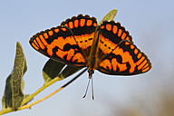 Africa, Botswana, Central Kalahari Game Reserve, Plain tiger butterfly on plant, close up - FOF002189
