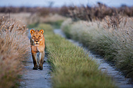 Africa, Botswana, Lioness in central kalahari game reserve - FOF002205