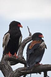 Africa, Botswana, Bateleur in central kalahari game reserve - FOF002212