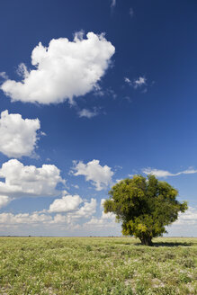 Africa, Botswana, View of central kalahari game reserve with a camel-thorn tree - FOF002143