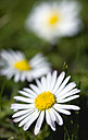 Germany, Bavaria, Common daisy, close up - PSF000591