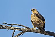 Africa, Botswana, South Africa, Kalahari, Tawny Eagle in Kgalagadi Transfrontier Park - FOF002291