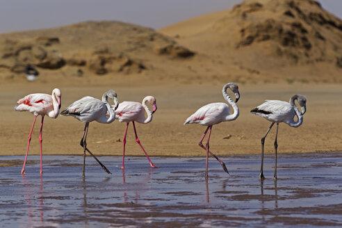 Africa, Namibia, Namib Desert, Atlantic Ocean, Walvis Bay, Flock of greater flamingo in sea - FOF002406