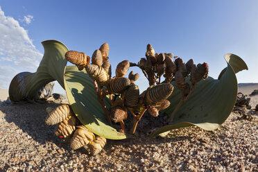 Africa, Namibia, Swakopmund, View of welwitschia plant in namib desert - FO002425