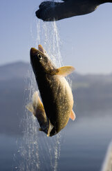 Austria, Mondsee, Fish trapped in fishing net - WWF001676