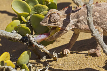 Africa, Namibia, Namaqua chameleon hunting an insect in namib desert - FOF002464