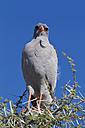 Africa, Namibia, Pale chanting goshawk in etosha national park - FOF002532