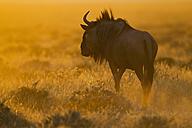Africa, Namibia, Blue wildebeest in etosha national park - FOF002536