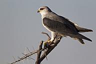 Africa, Namibia, Black-winged kite in etosha national park - FOF002540