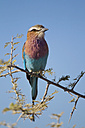 Africa, Namibia, Lilac-breasted roller in etosha national park - FOF002548