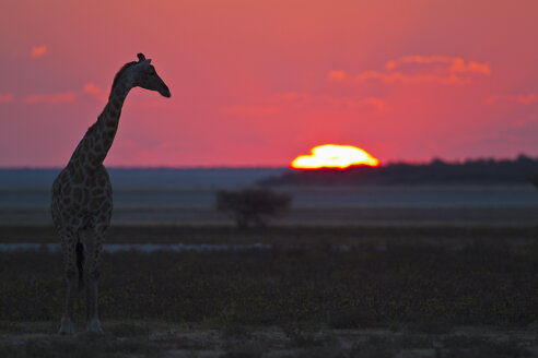 Africa, Namibia, Giraffe in etosha national park at sunset - FOF002551