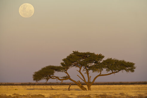 Africa, Namibia, Umbrella thorn acacia in etosha national park at night - FOF002508