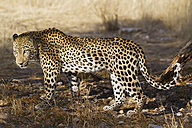 Africa, Namibia, Close up of Leopard - FOF002498