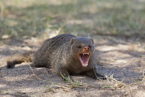Africa, Namibia, Common Dwarf Mongoose in Etosha National Park - FOF002502